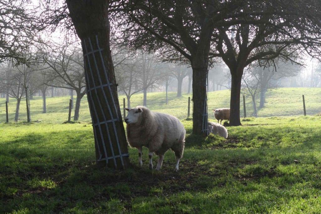 Moutons de la ferme pédagogique