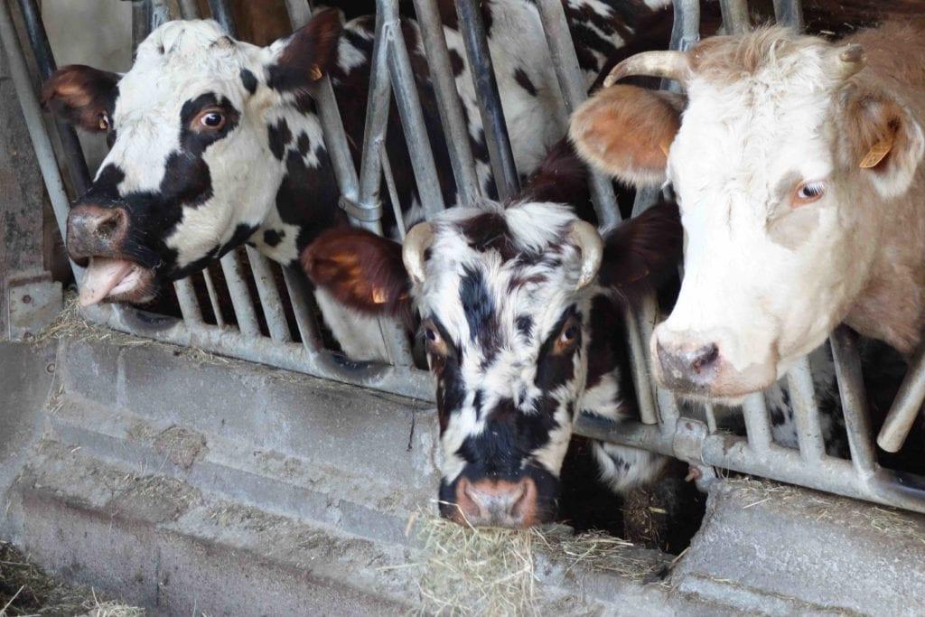 Vaches de la ferme pédagogique Pays d'Auge