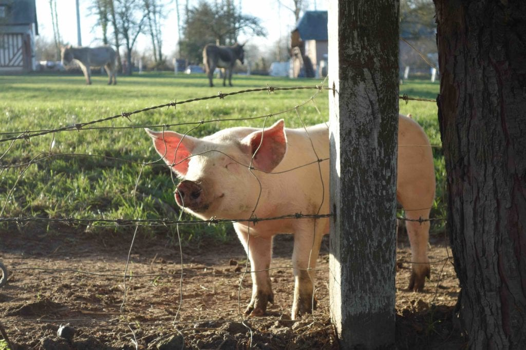 cochon ferme du lieu roussel